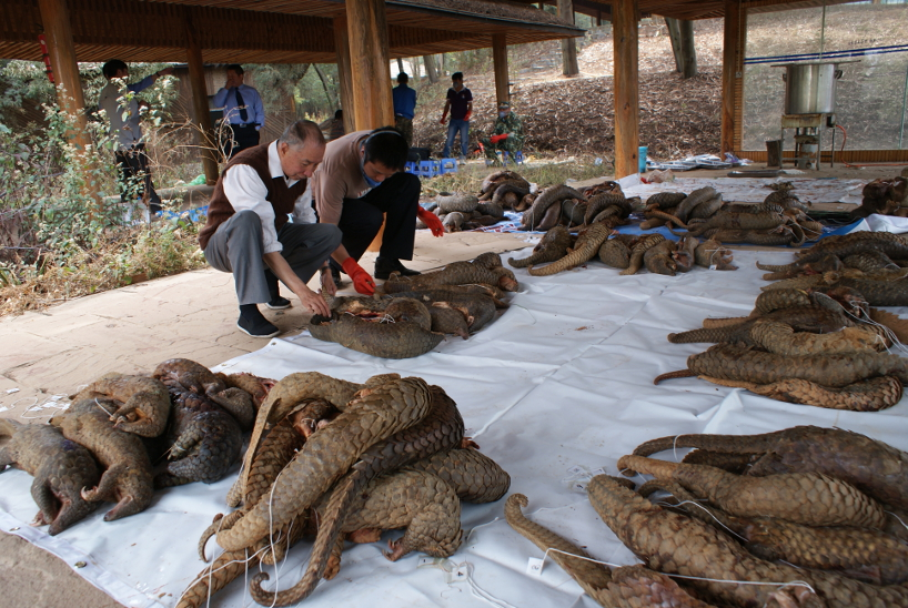 Image result for pangolin trafficking