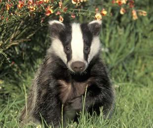 badger_front_face
