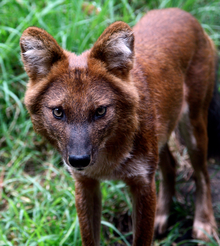 The Guardian interviews WilCRU researcher about dhole ...