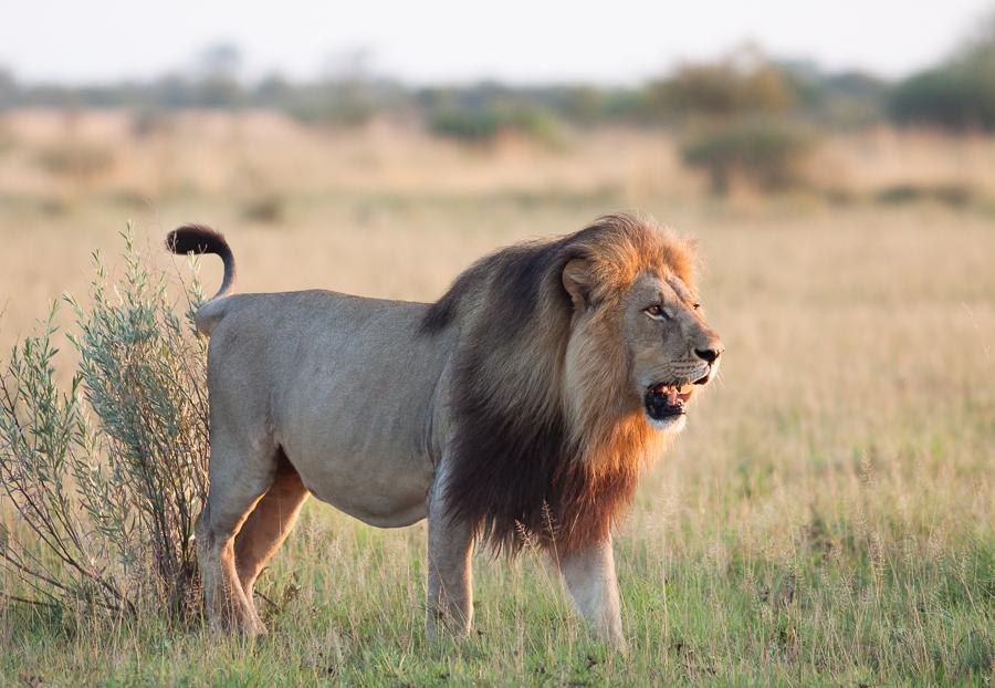 Mandlevu, pride male of Nxai Pan NP