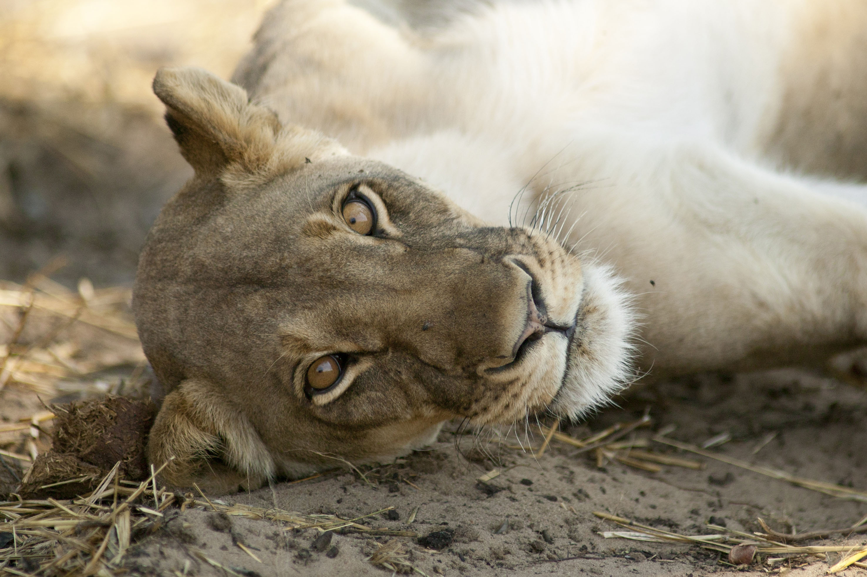 Cecil_lioness_lying