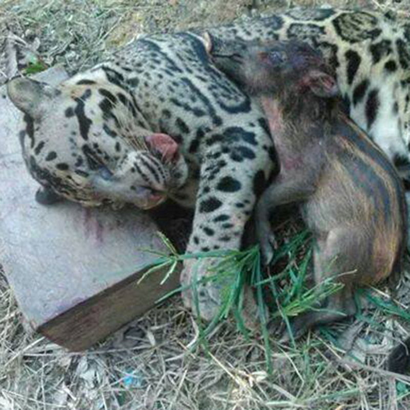 dead clouded leopard and piglet