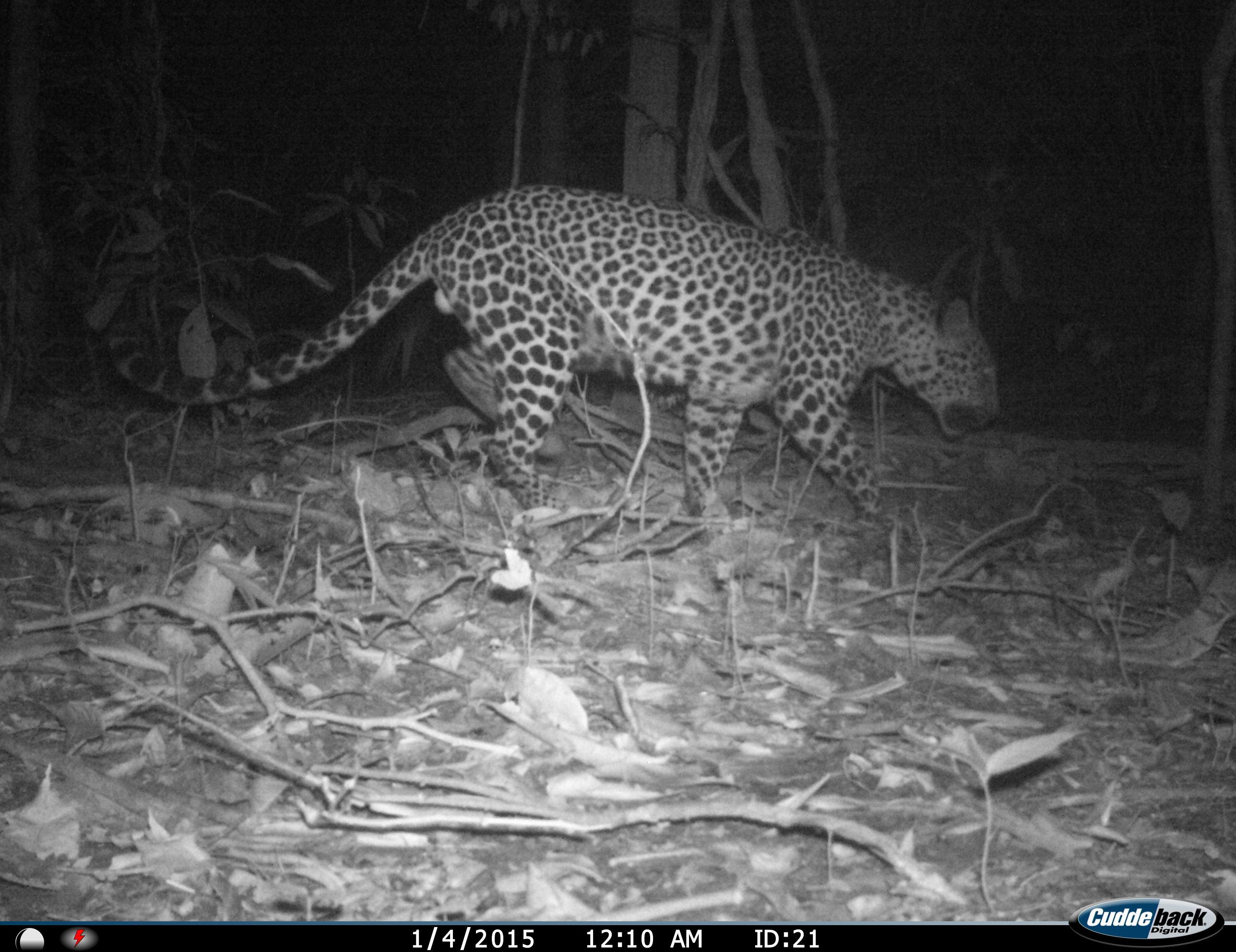 Malay leopard