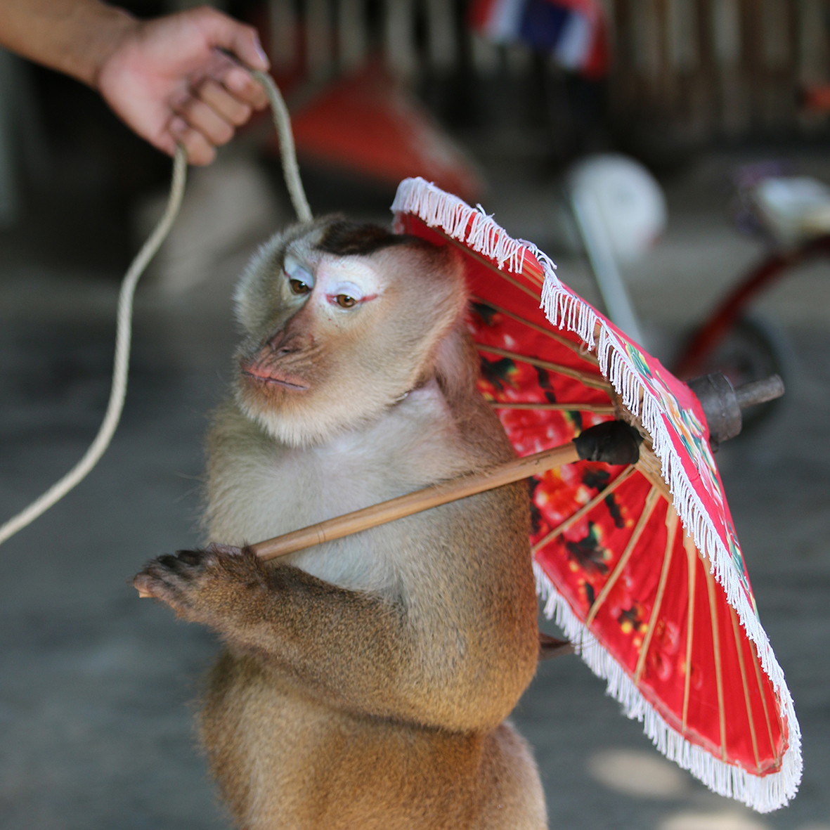 monkey on leash holding umbrella