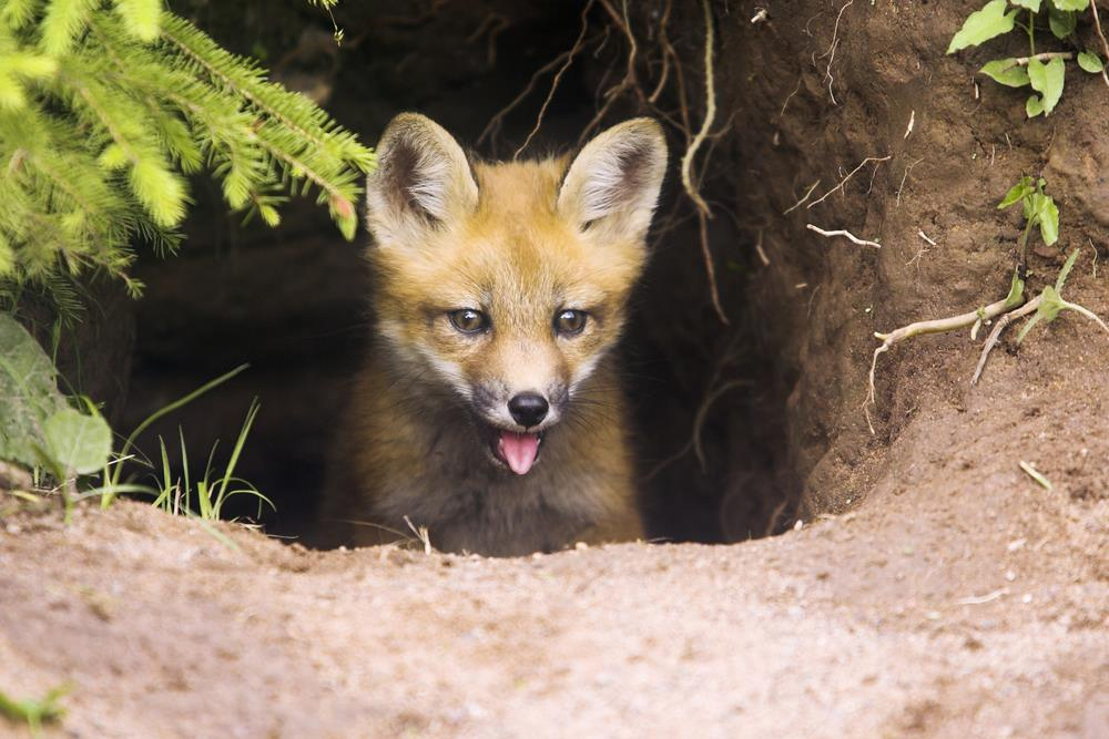 fox_cub