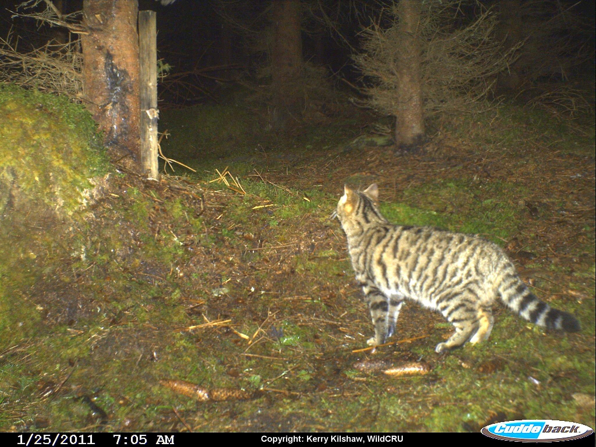 Wildcat hybrid