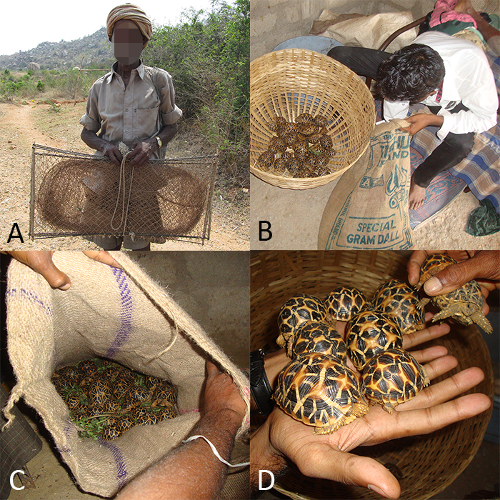 Star Tortoise illegal trade pictures