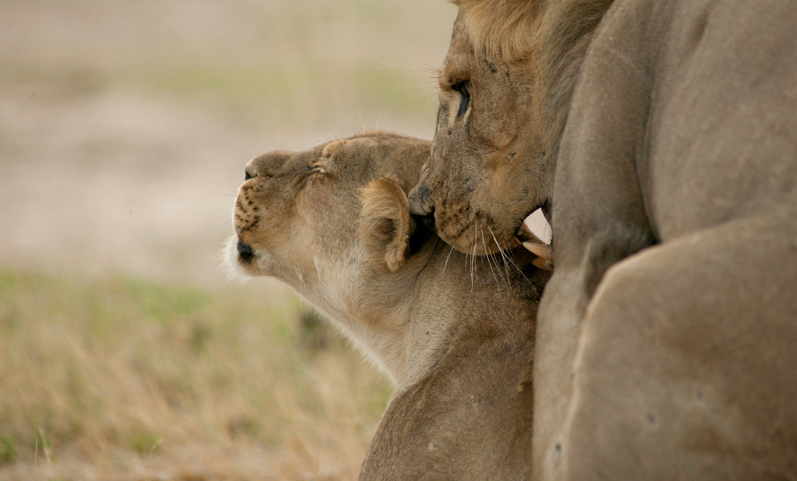 Xanda and a lionness mating