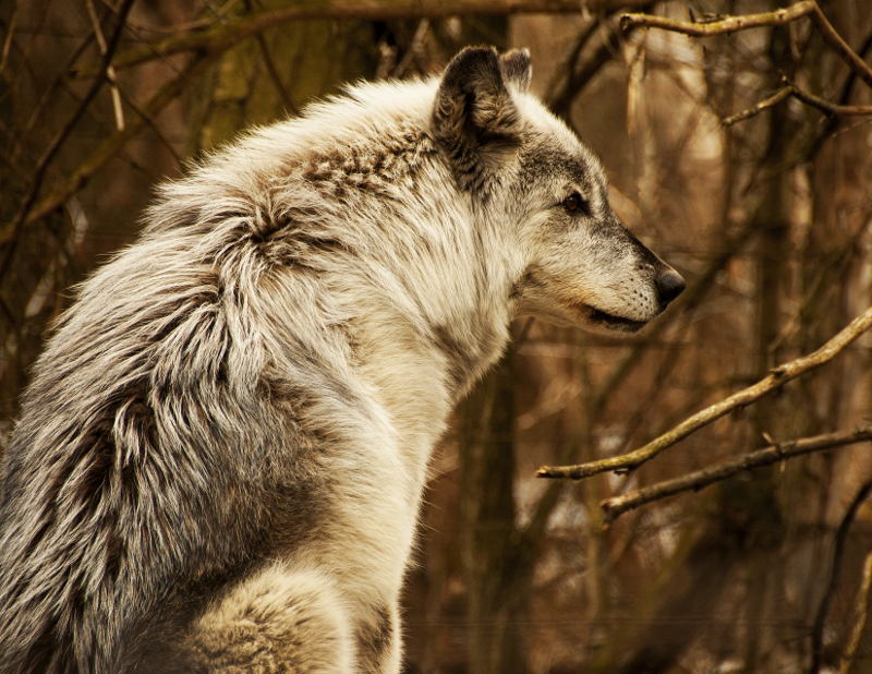 Grey wolf, copyright Dana Taramina Bear Creek Exotic Wildlife Sanctuary