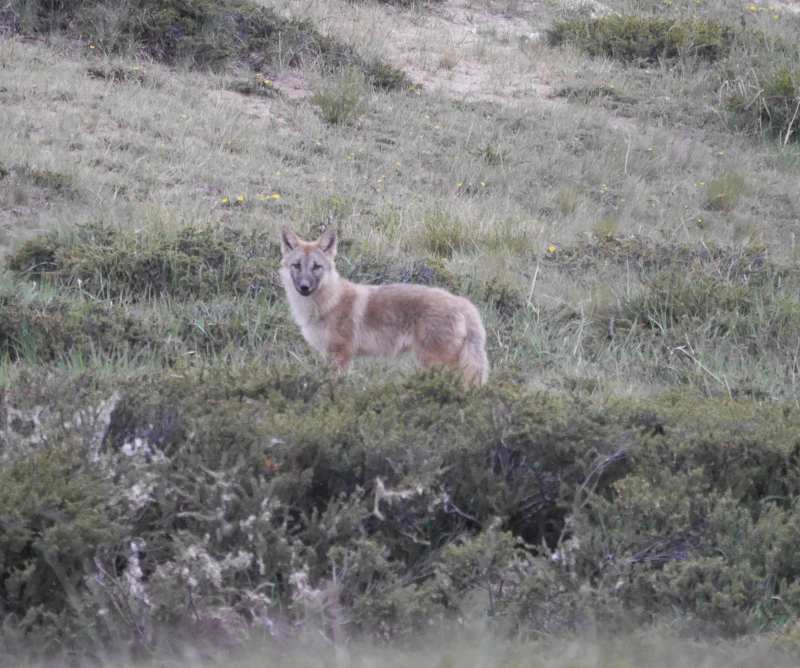 Wolf pup Canis sp. in the the Himalayas of Upper Humla, Nepal; the genetics and ecology of these wolves is studied by the Himalayan Wolves Project