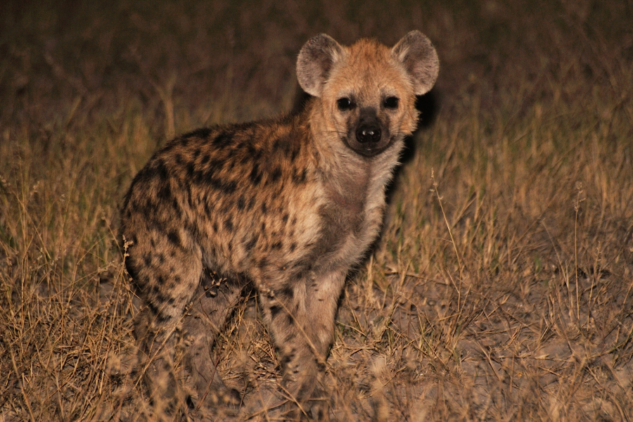 hyaena adult