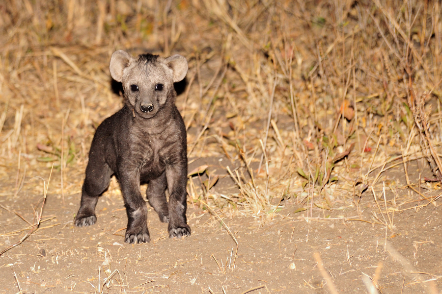 hyaena cub