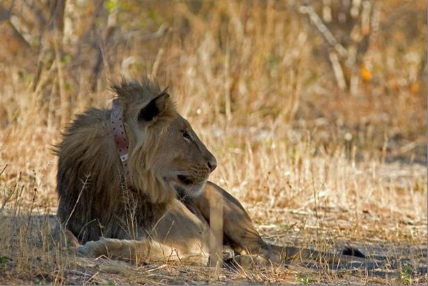 radio collared lion