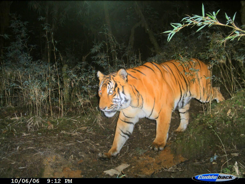 tiger_camera_trap