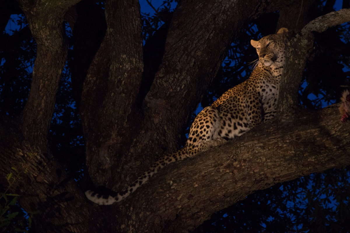 leopard in the Sabi-Sands