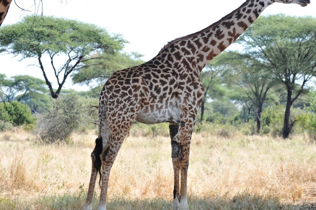 Giraffe with skin disease