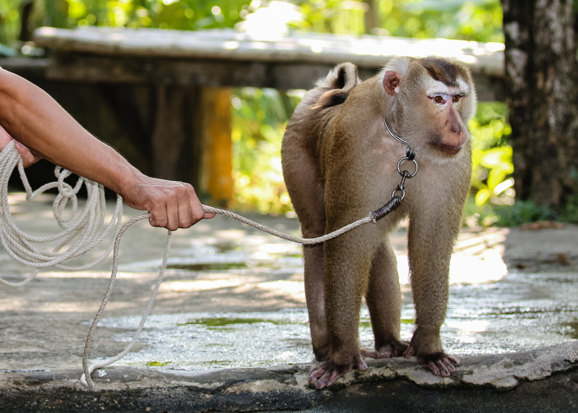 monkey on a chain lead