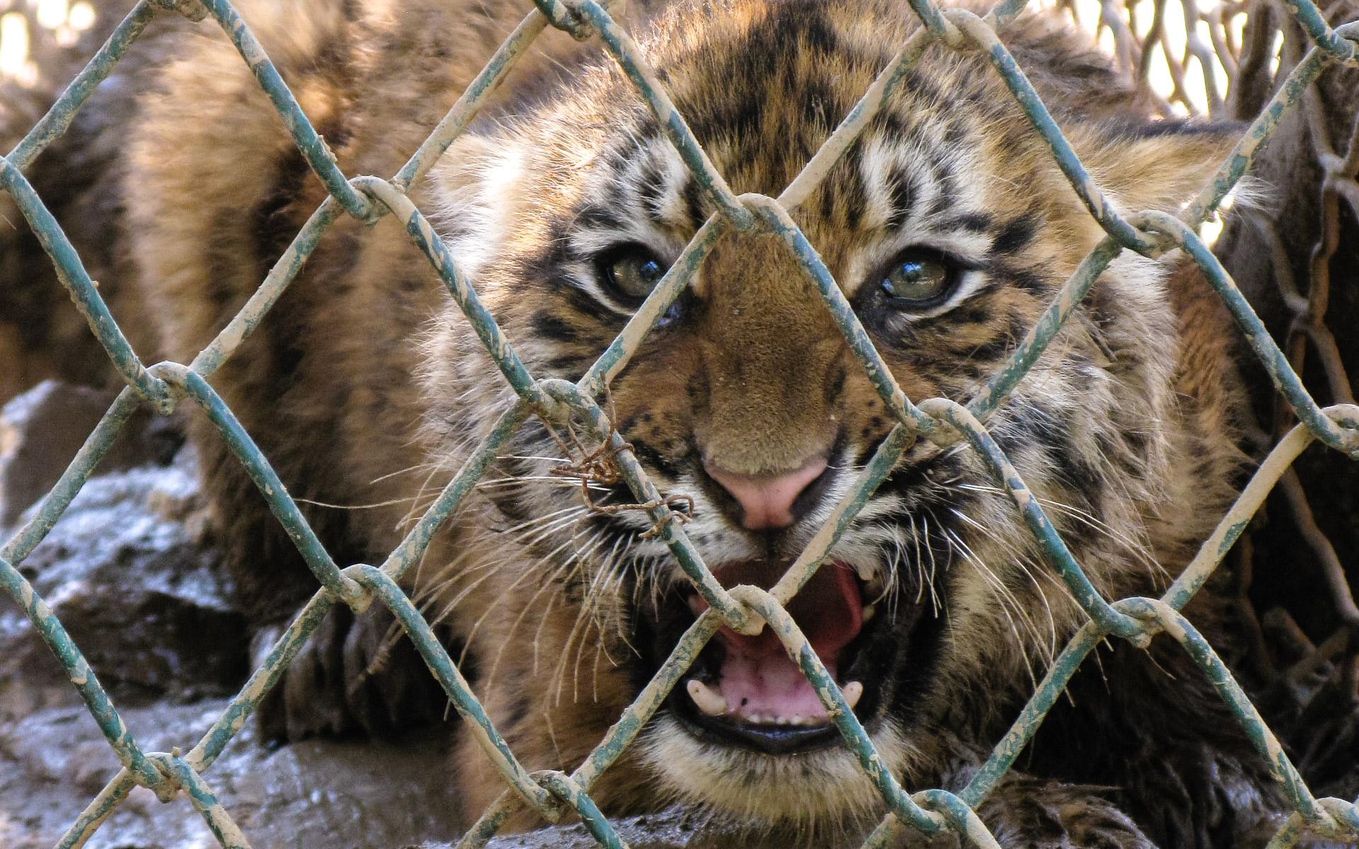 caged tiger snarling