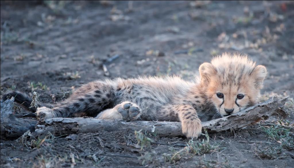 Billy Dodson cheetah cub