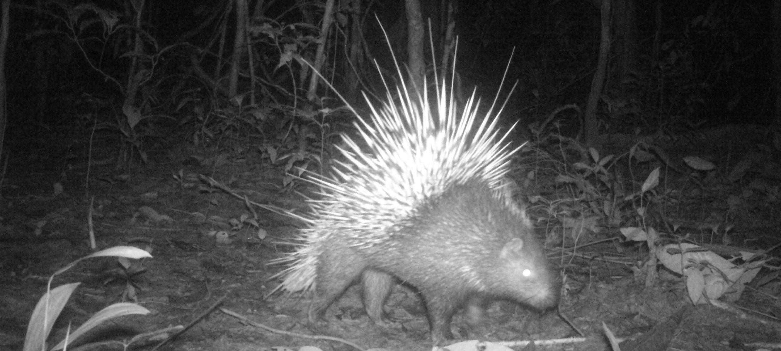 Ulu Muda porcupine