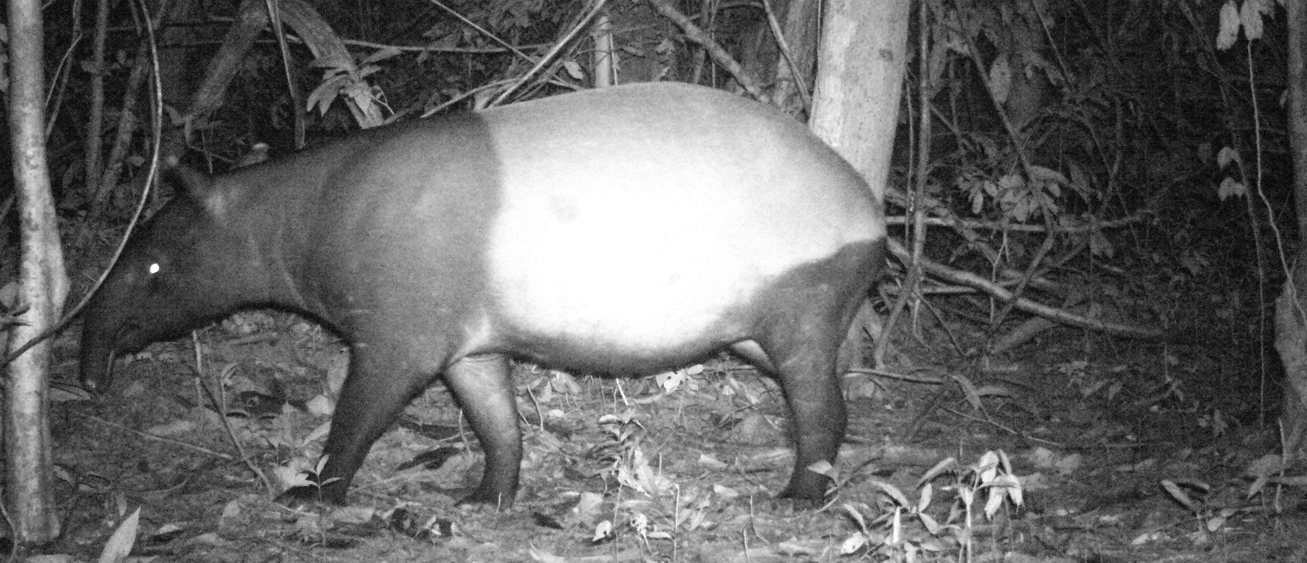 Ulu Muda tapir