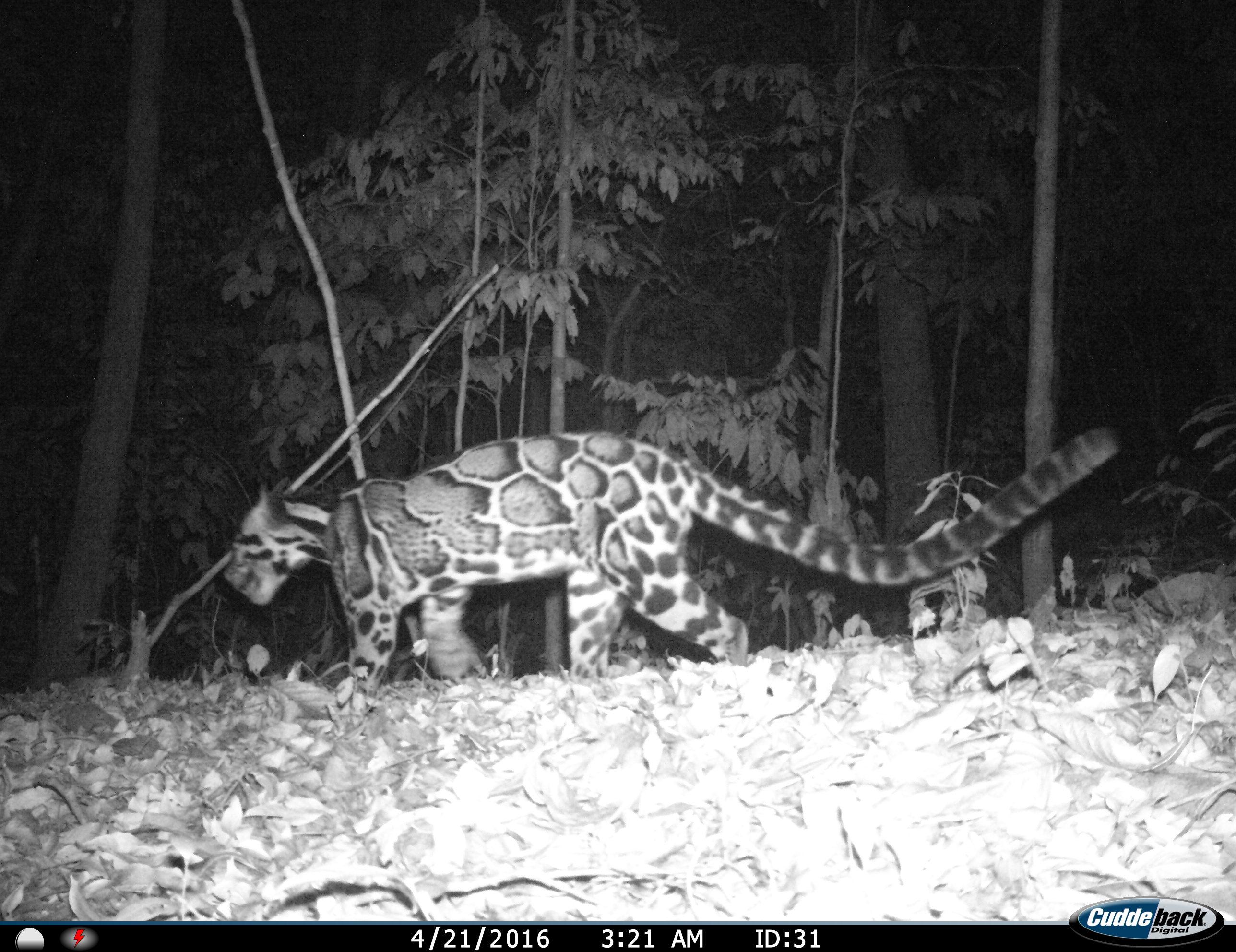 Ulu Muda leopard
