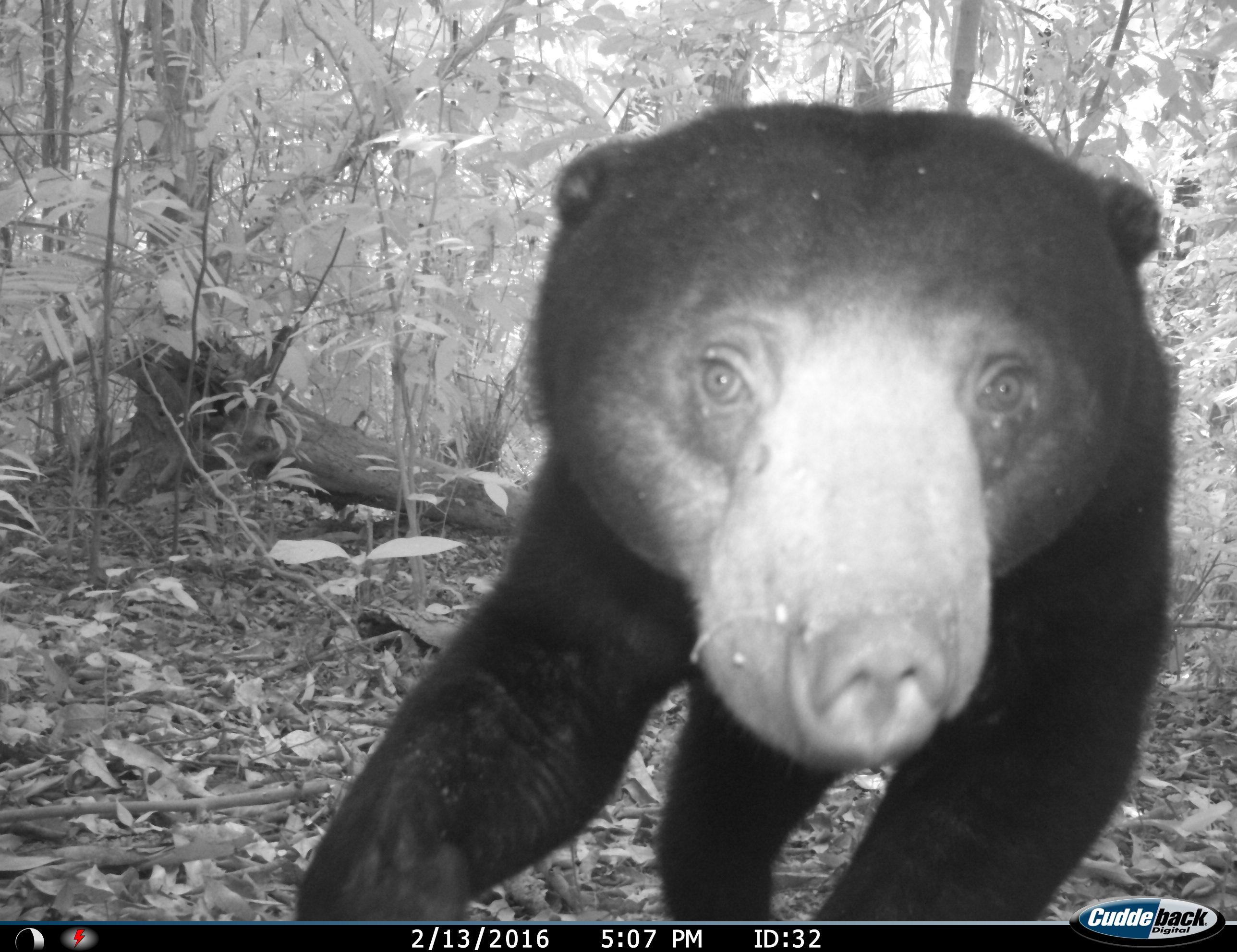 Ulu Muda bear