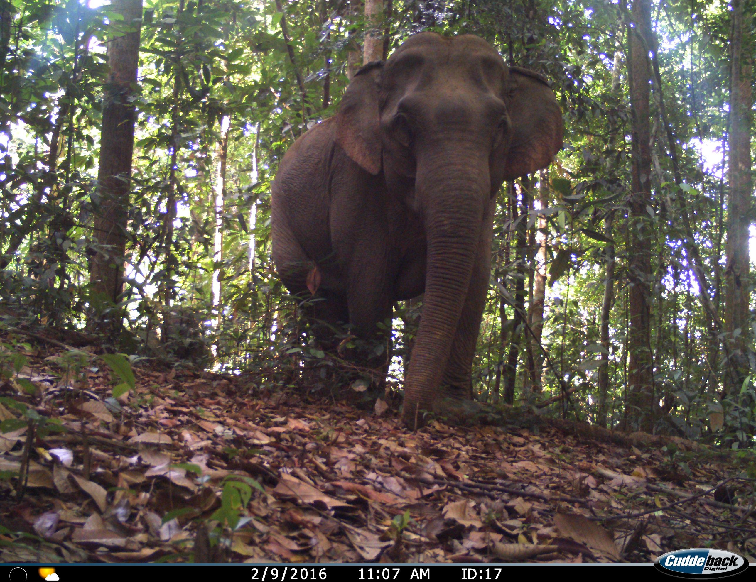 Ulu Muda elephant