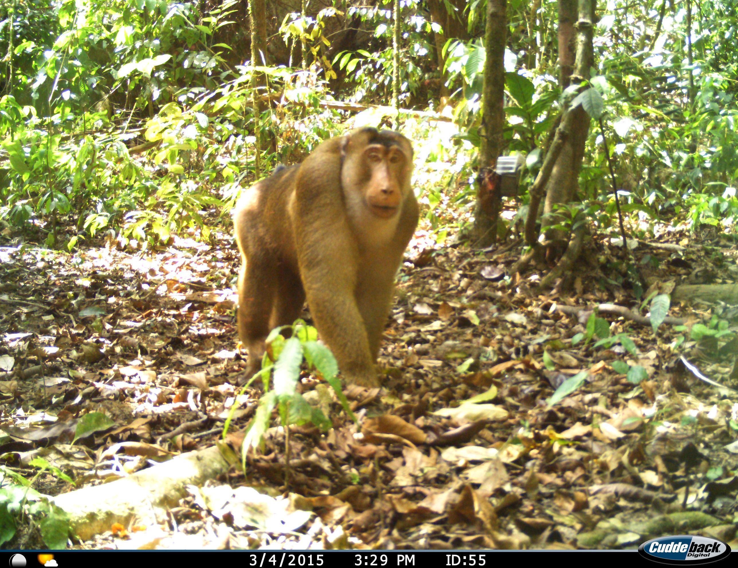 Ulu Muda monkey
