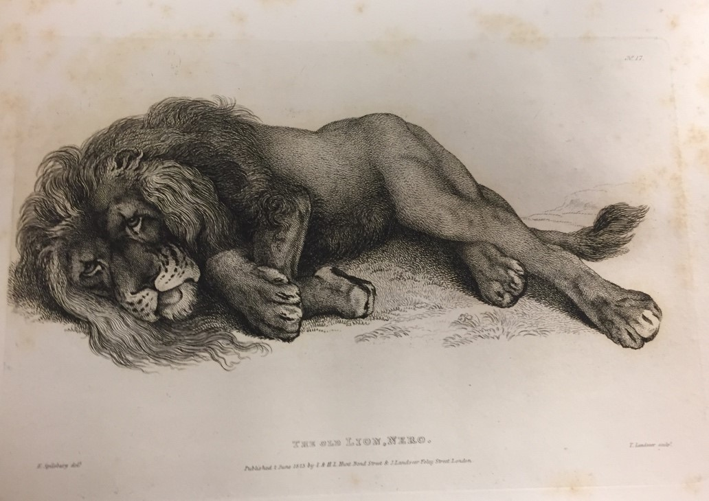 The Old Lion Nero Edgar Ashe Spilsbury and Thomas Landseer From Twenty Engravings of Lion, Tigers, Panthers and Leopards in Bodleian Library, Oxford